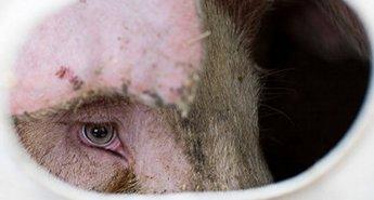 occhi maialino